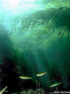 Californian kelp forest