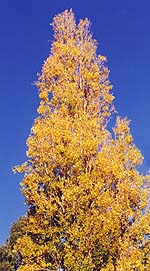 A poplar in autumn colours