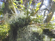 An example of an epiphyte assemblage of orchids and bromeliads in a garden setting